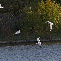Кружатся белые чайки :: Александр Запылёнов
