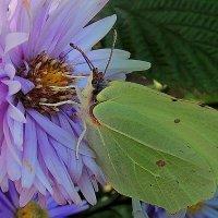 Последние бабочки, словно отлетающие последние березовые листочки. :: Павлова Татьяна Павлова