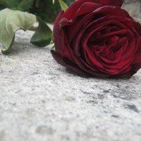 Павшая роза :: Настя Мухортова
