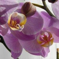 Снова зацвела орхидея :: nika555nika Ирина