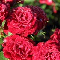 Розы :: Valeri Kn