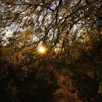 Солнце сквозь листья дуба :: Андрей Липов