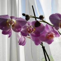 Орхидея на моём окне :: nika555nika Ирина