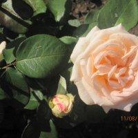 Мой сад - Роза Крем Брюле :: Tatyana Kuchina