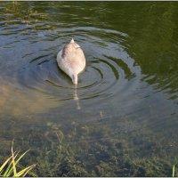 Молоденький лебедь кушает. :: Роланд Дубровский