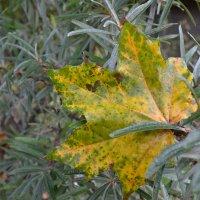 Кленовый лист. :: zoja