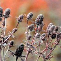 цветы осени :: Евгений Фролов