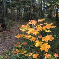 Осенний клен. :: Rabbit Photo