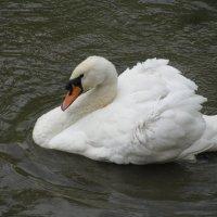 Самец лебедя :: Maribago Maribago