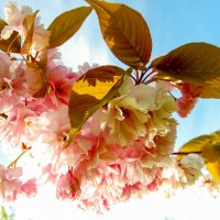 Cherry blossom :: Asinka Photography