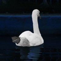 лебедь в ночи :: Юлия Денискина