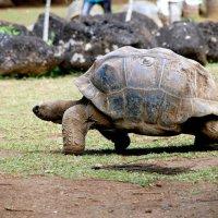 "Гигантские черепахи парка ""La Vanille"" :: Tatiana Belyatskaya"