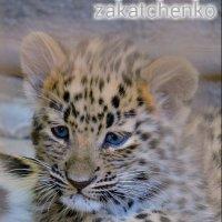 котенок дальневосточного леопарда :: Алёна Закатченко