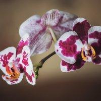 Орхидея фаленопсис :: Ирина Приходько