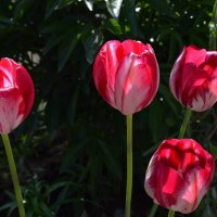 Тюльпаны :: Вера Андреева