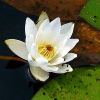 цветок от Водяного :: Александр Прокудин