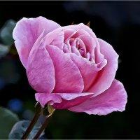 Розовое настроение :: Валентина *