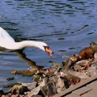 лебедь-белке: кыш с моей территории!!! :: Александр Прокудин
