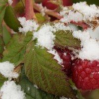 Малина и снег. :: Николай Масляев