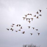 Летят перелетные утки... :: Сергей Стреляный