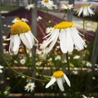 Ромашки,  самые замечательные цветы :: Мария Попова
