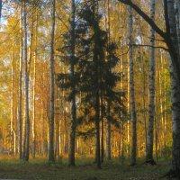лес на закате дня :: Елена