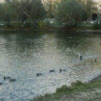 Утиные соревнования в октябре на Наташинских прудах :: Ольга Кривых
