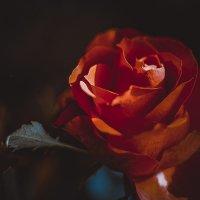 Роза :: Michael Averkiev