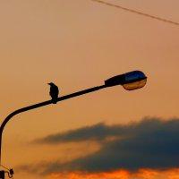 вечерняя ворона :: Александр Прокудин