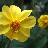 Цветок как солнце :: Валерий Талашов