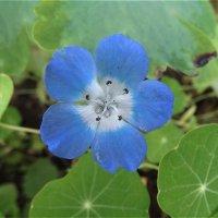 Голубенький цветочек :: Светлана Лысенко