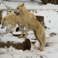 Полярные волки на первом снегу :: Владимир Максимов