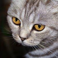 Ах, эти желтые глаза.... :: Ирина Рассветная