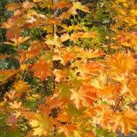 Осенняя красота клена :: Стас Борискин
