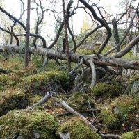 В таинственном лесу пос. Кузнечное :: Елена Павлова (Смолова)