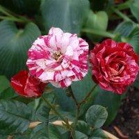 Пёстрые розы :: Svetlana27