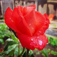 Роза под дождем :: Татьяна