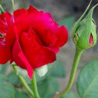 Осенняя роза с бутонами... :: Тамара (st.tamara)