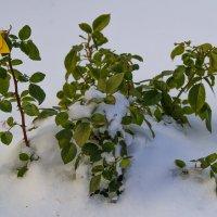 Куст розы укутанный первым снегом :: Владимир Максимов