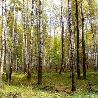 Светлый берёзовый лес. :: Борис Митрохин