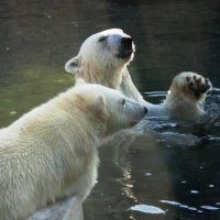 Белые медведи летом :: Дмитрий Никитин