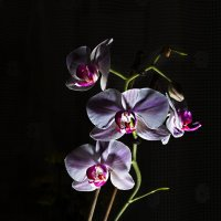 Орхидея :: Oleg Akulinushkin