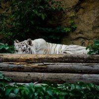 Амурский тигр :: Elena Ovchenkova