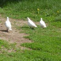 Рязанские голуби. :: никита кичапин