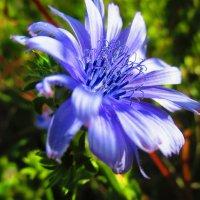 Цветок огородного салата. (ИНДИВИЙ КОРОЛЕВСКИЙ ) :: Татьяна ❧
