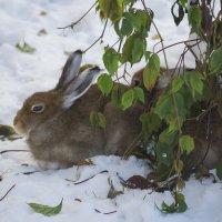 Трусишка зайка серенький под деревом лежал :: Владимир Максимов
