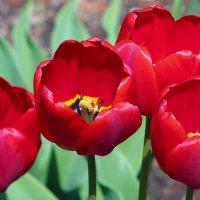 Тюльпаны :: Nikolay Monahov