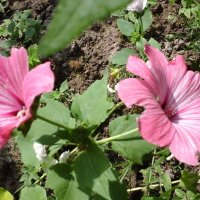 Два розовых цветочка :: Дмитрий Никитин