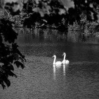 Лебеди: Выход навстречу :: Дмитрий Сорокин
