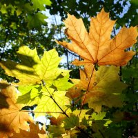 Просто листья... :: Андрей Заломленков
